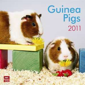 2011 Animal Calendars Guinea Pigs   12 Month   30x30cm